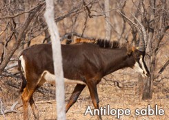 antilope-sable